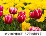 Bright Pink Tulips On A Yellow...