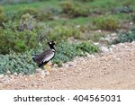 Small photo of Northern Black Korhaan (Afrotis afraoides) also known as the white-quilled bustard in Etosha National Park, Namibia, Africa