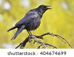 Black Crow  Corvus Corone ...