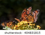 Monarch Butterflies Feeding On...