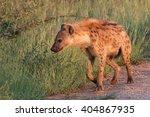 spotted hyena portrait  kruger... | Shutterstock . vector #404867935