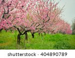 Peach Trees With Flowers