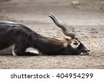 Indian Blackbuck  Antilope...