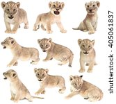Baby Lion  Panthera Leo ...