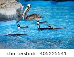 humbold penguins and pelican at ... | Shutterstock . vector #405225541