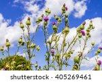 purple flowered bull thistle a... | Shutterstock . vector #405269461