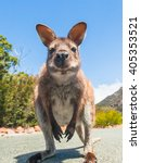 Wallaby  A Kangaroo  Close Up...