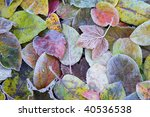 Colorful Leaves At A Frosty...
