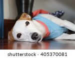 jack russell lie on the wooden... | Shutterstock . vector #405370081