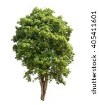 isolated tree on white... | Shutterstock . vector #405411601