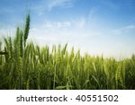 Green spring grains - stock photo