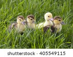 Little Ducklings In A Grass
