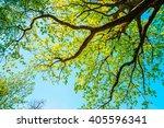 canopy of tall growing oak tree ... | Shutterstock . vector #405596341