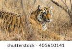 wild bengal tiger  panthera... | Shutterstock . vector #405610141