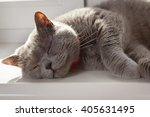 British Shorthair Gray Cat...