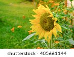 yellows  sunflowers blooming in ... | Shutterstock . vector #405661144