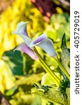 Zatendechsia Or Cala Lily...