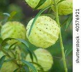 Small photo of Asclepias fruticosa fruits.jpg Asclepias fruticosa, Gomphocarpus fruticosus (swan plant, African milkweed)