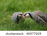 Small photo of rock partridge, alectoris graeca