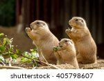 Three Prairie Dogs Sit And...