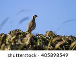 Small photo of Partridge Chukar Partridge / Alectoris chukar
