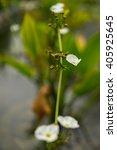 Small photo of Skeletal Flower Diphylleia Grayi