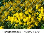 Small photo of Corbeille d'or (Alyssum saxatile)