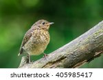 young robin on branch   Shutterstock . vector #405985417