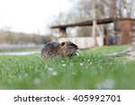 a nutria on green grass | Shutterstock . vector #405992701