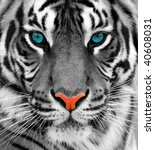 close up of a tiger | Shutterstock . vector #40608031