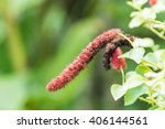 Small photo of Chenille Plant ( Acalypha Hispida )