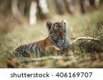 panthera tigris altaica. cute... | Shutterstock . vector #406169707