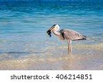 Great Blue Heron  Ardea...