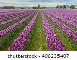 Skagit Valley Tulips. Every...