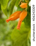Small photo of Don Juan Plant, Gaucamaya Vine, Golden Star, Goldfinger flowers (Juan Ulloa Mexicana (Schltdl.) Miers) is native to Mexico, Colombia, Peru.
