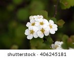 Spiraea Blumei's White Flower...