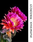 Small photo of An Echinopsis Hybrid, Trichocereus Hybrid commonly known as a Flying Saucer. Two, pink, night blooming, cactus flowers. Shriveled remains of previous blooms are below the current blooms.