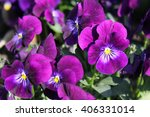 Purple Pansies On A Flower...