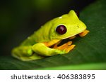 Small photo of Flying Leaf Frog, Agalychnis spurrelli, green frog sitting on the leaves, tree frog in the nature habitat, Corcovado, Costa Rica