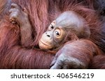 Baby Orangutan Holding On To Mom