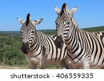 Pair Of Zebras Posing On A...