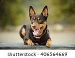 Red And Tan Australian Kelpie...