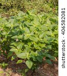 Small photo of Amaranth,Amaranthus lividus, Amaranthaceae