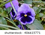 Mauve And Purple Pansy Violet...
