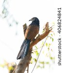 Greater Coucal Or Crow Pheasan...