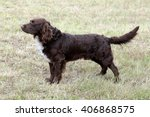 typical german spaniel in the...   Shutterstock . vector #406868575