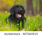 Beautiful Mutt Black Dog Amy I...