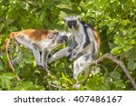 two red colobuse monkey in a... | Shutterstock . vector #407486167