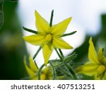 Close Up Yellow Tomato Flower...