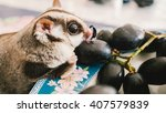 Sugar Glider Is Eating Grape.